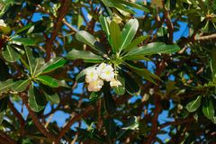 Green tree with blooming flowers of aralia or plumeria stock photos