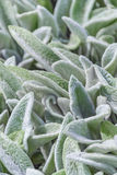 Floral background, ground cover plant fluffy leaves, Stachys woolly Stahis. Floral background, green ground cover of fluffy leaves of plants, Stachys woolly or Stock Images