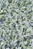 Floral background, ground cover plant fluffy leaves, Stachys woolly Stahis Royalty Free Stock Photos