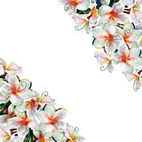 Floral background illustration with Plumeria Frangipani flowers Royalty Free Stock Photo