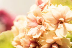 Floral background Kalanchoe Flower macro shot, bokeh Stock Photos