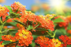 Floral background. Lantana flowers royalty free stock images