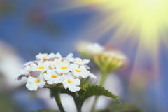 Floral background. Lantana flowers Royalty Free Stock Image