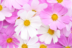 Floral background of light pink and white Cosmos flowers. Flat lay stock image
