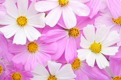 Floral background of light pink and white Cosmos flowers. Flat lay Royalty Free Stock Images