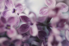 Floral background with lilac flowers. Close-up Stock Image