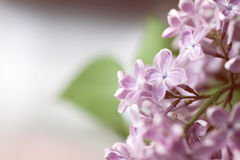 Floral background with lilac flowers Stock Photos