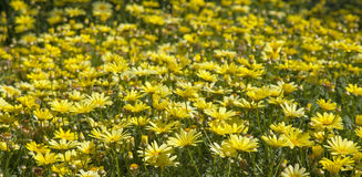 floral background of marguerite Royalty Free Stock Images