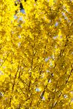Close up yellow Forsythia flower royalty free stock photography
