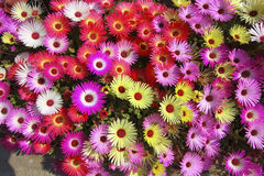 Floral background mesembryanthemums Royalty Free Stock Photo