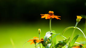 Floral background. Orange flowers with a green background Royalty Free Stock Images