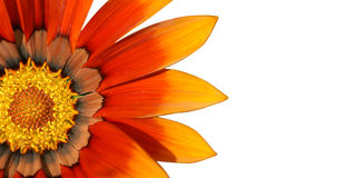 Orange treasure flower over white Royalty Free Stock Photo