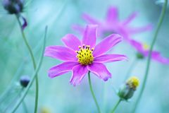 Floral background  -  purple cosmos flowers - summer Stock Photos Royalty Free Stock Photography