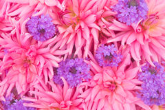 Floral background of pink dahlias and purple garden flowers Stock Photography