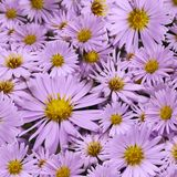 Floral background of pink daisies. Close-up.  Flower composition. Stock Images