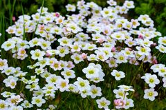 Floral background of pink flowers of saxifrage, spring blooming of saxifrage, small white flowers stock image