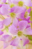 Floral background of pink oxalis Royalty Free Stock Images