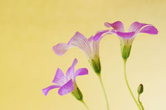 Floral background of pink oxalis Royalty Free Stock Photos