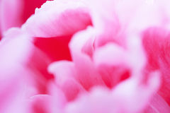 floral background of pink peony delicate petals Royalty Free Stock Image