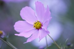 Floral background - purple cosmos flower - summer Stock Photos Stock Image