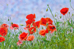 Floral background poppies grass sky. Floral background. Red poppies in green grass on a blurry background sky and of lush meadow Stock Images
