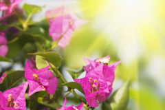 Floral background. Purple Bougainvillea. stock photography