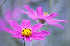 Floral background  -  purple cosmos flowers - summer Stock Photos Royalty Free Stock Photo