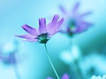 Floral background  -  purple cosmos flowers - summer Stock Photos Royalty Free Stock Image