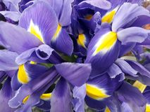 Floral background with purple irises Royalty Free Stock Photo