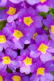 Floral background with purple pansy flower blossoms. Floral background with closeups of purple pansy flower blossoms royalty free stock photography