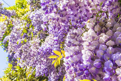 Floral background purple wisteria blossoms in the park Royalty Free Stock Photos