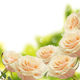 Floral background from roses Stock Photography