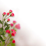 Floral background: roses isolated over  white background Royalty Free Stock Photos