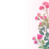 Floral background: roses isolated over  white background Stock Image