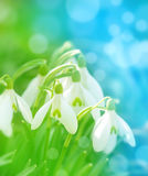 Floral background with snowdrops Royalty Free Stock Photo