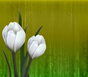 Floral background. Spring flowers. Crocus. Stock Image
