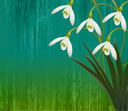 Floral background. Spring flowers. Snowdrops. Royalty Free Stock Images