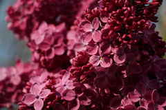 Floral background of spring lilac violet flowers. Floral background of spring lilac (syringa vulgaris) violet flowers Royalty Free Stock Photo