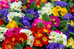 Floral background, spring seasonal colofrul garden primula flowers royalty free stock images