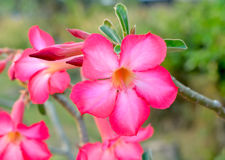 Floral background. Tropical flower Pink Adenium. Desert rose. Stock Photography