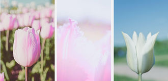 floral background with tulip petals. set Stock Image