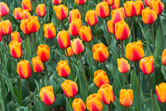 Floral Background Tulips. Close up of group of yellow orange tulips filling the frame stock photo