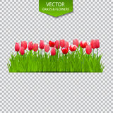 Floral Background with Tulips on Transparent Background. Vector Illustration. Stock Photos
