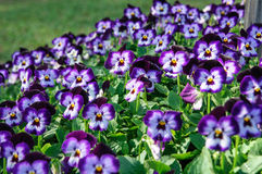 Floral background  viola pansies on grass. Viola pansies is a species of violet known by the common name pansy Stock Image