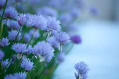 Floral background with violet decorative onion. Floral background with violet flowers of decorative onion Stock Photo