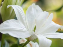 Floral background with white lily. close up.  Stock Image