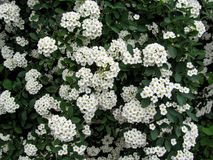 Floral background of a white spiraea flowering Royalty Free Stock Images