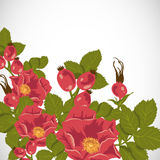 Floral background with wild rose, brier Stock Images
