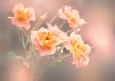 Floral background with rose flowers Stock Photos