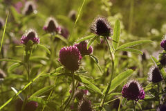 Floral background. Wildflowers of clover in the sun`s rays. Soft focus. Royalty Free Stock Image
